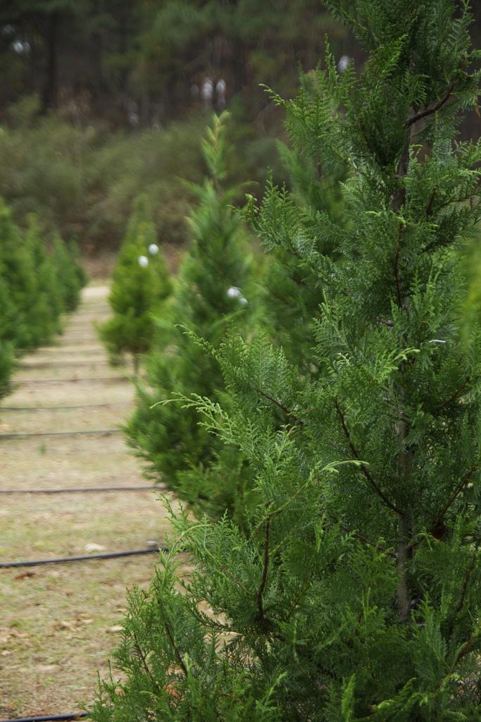 Merry Christmas Tree Farm At Pikes Peak Alpacas Colorado Springs