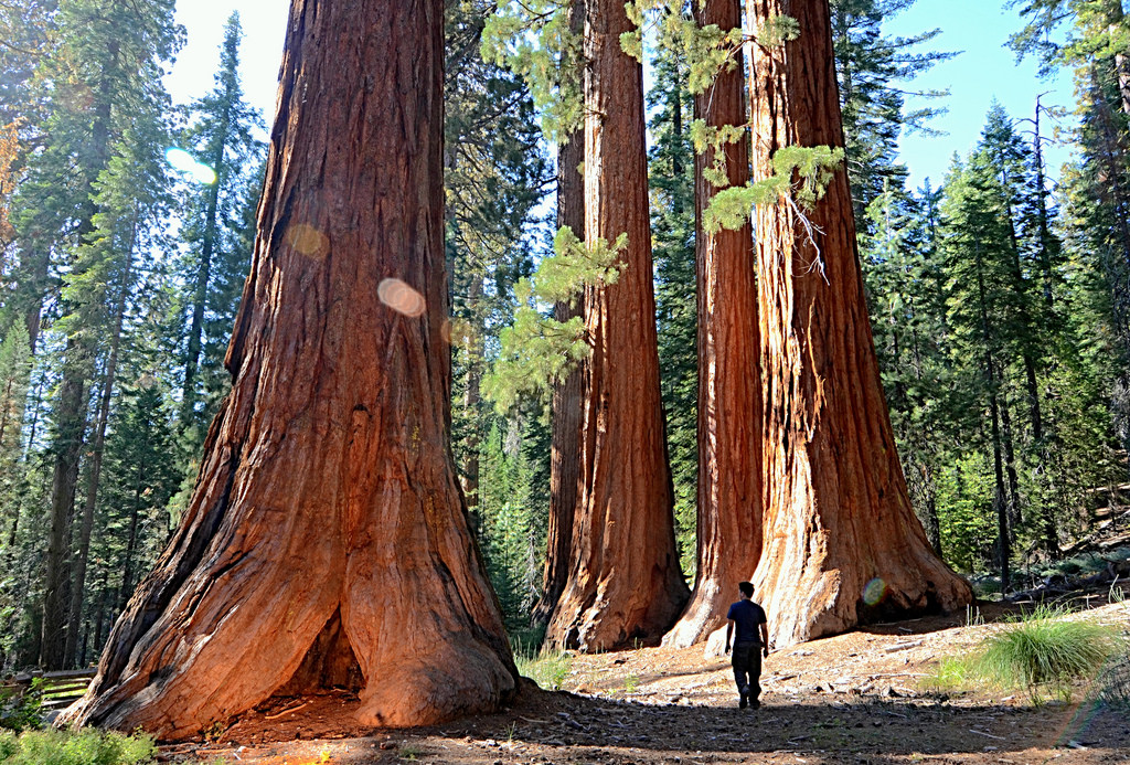 Image result for mariposa grove of giant sequoias