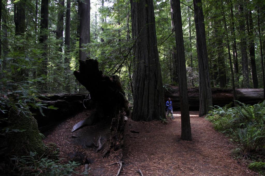 Humboldt Redwood State Park Founders Grove Weott California