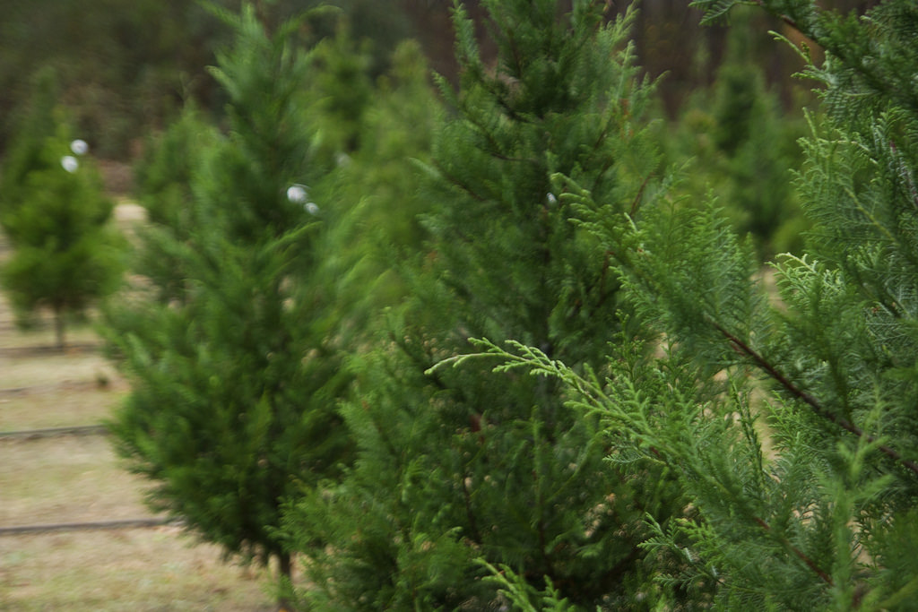 Beck Christmas Tree Farm In Alpine UT Parent Reviews Photos  - Becks Christmas Tree Farm