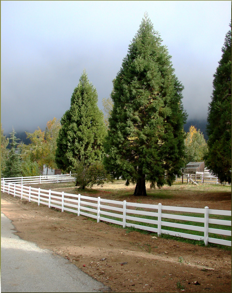 crest ranch choose and cut christmas tree farm santa cruz california