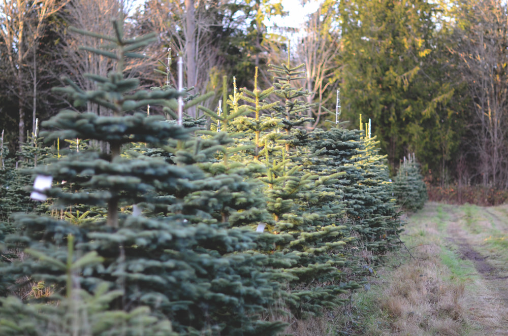 Choose and Cut Christmas Tree Farms in Southern California | Trekaroo