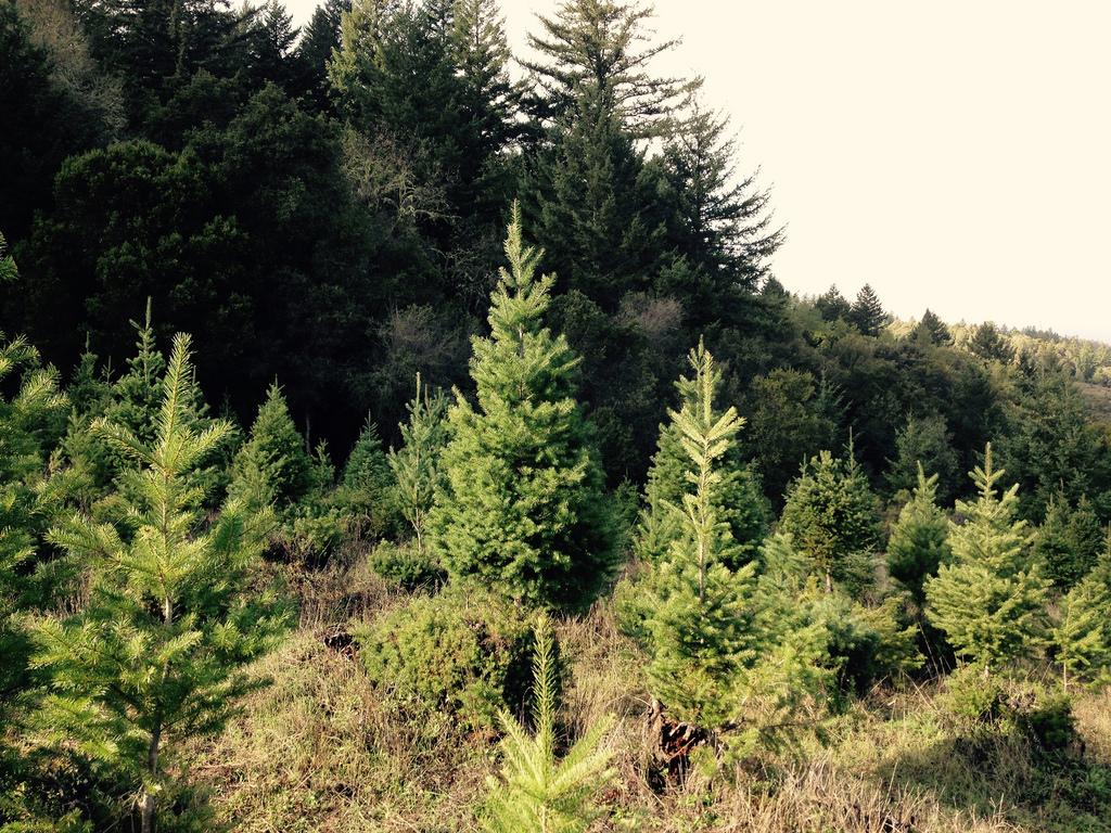 christmas tree farms near lake tahoe apple hill