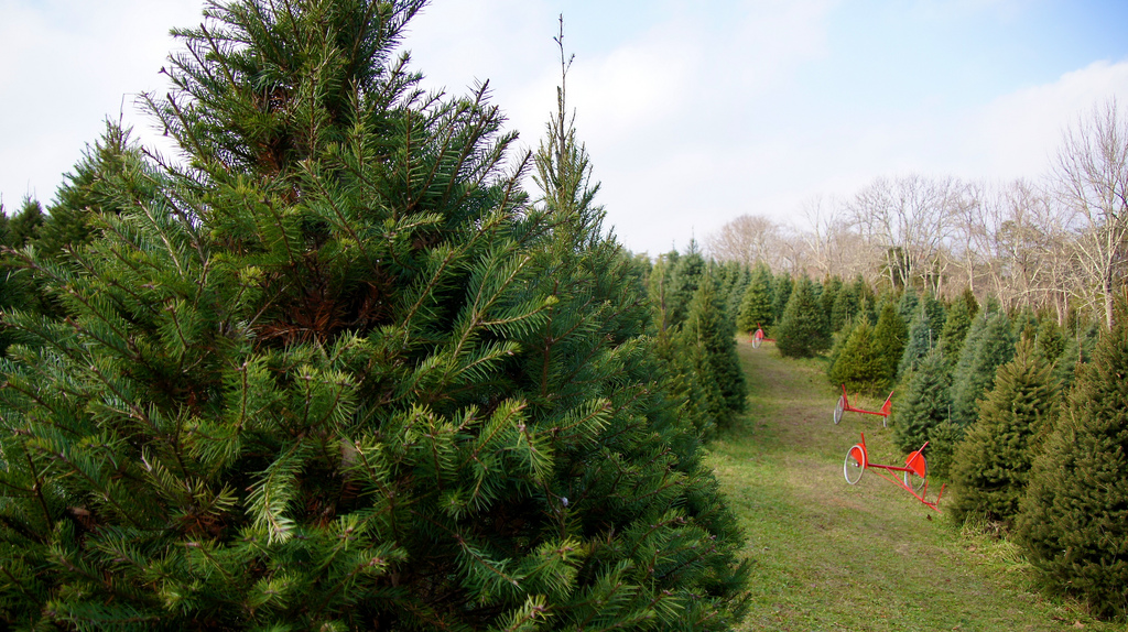 u cut christmas tree farms near sacramento