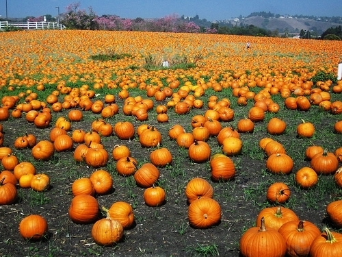 shawns pumpkin patch & christmas trees los angeles ca