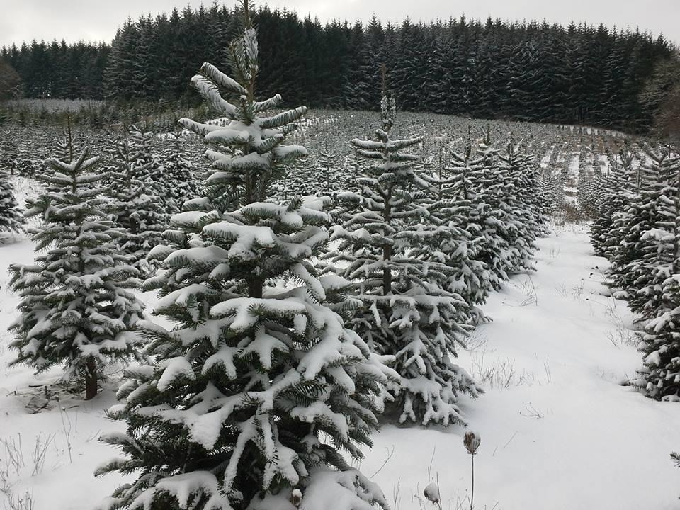 bigfoot christmas trees dallas oregon