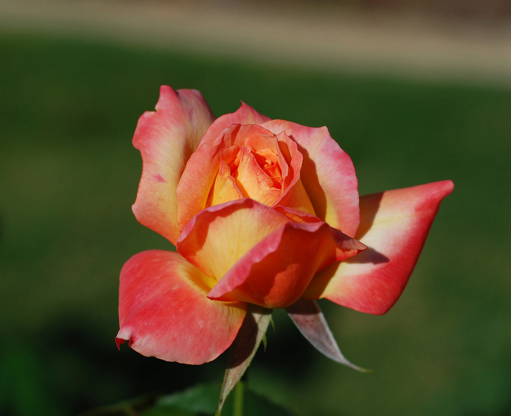Roses In Garden: Municipal Rose Garden And Rose Center In Tyler, Texas