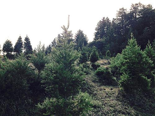 Christmas Tree Farms On California's Central Coast (Near