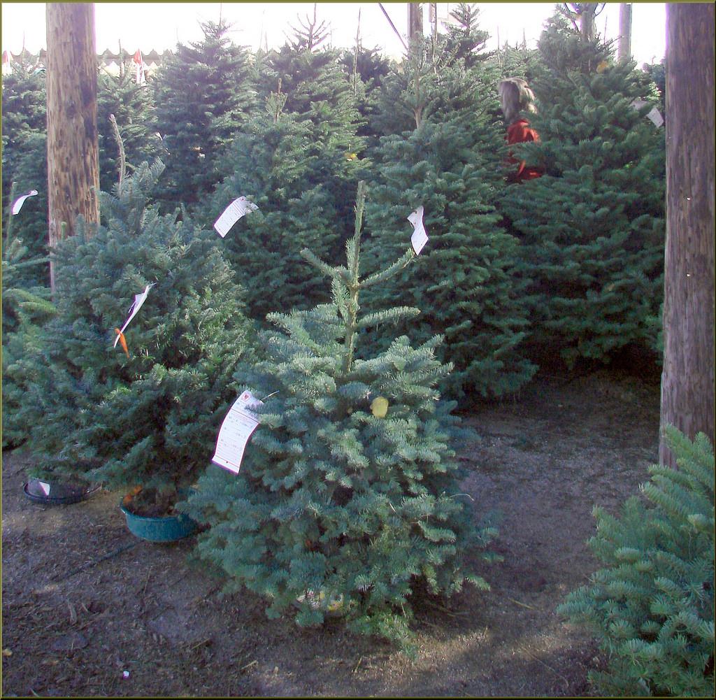 Christmas Tree Farm Southern California: The Wickerd Farm In Menifee, California