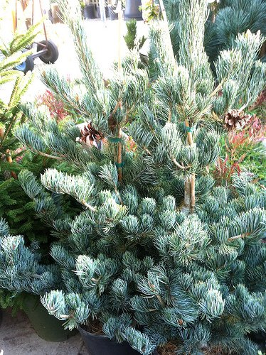 Spillman's Christmas Trees - Sophia, North Carolina