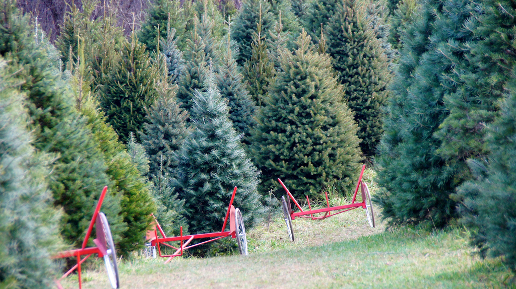 Cut-Your-Own Christmas Tree Farms Near Philadelphia, PA