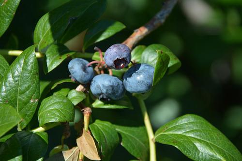 Paupack Blueberry Farm - Paupack, Pennsylvania