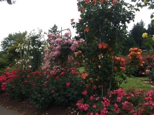 Portland International Rose Test Garden Portland Or Kid Friend Trekaroo