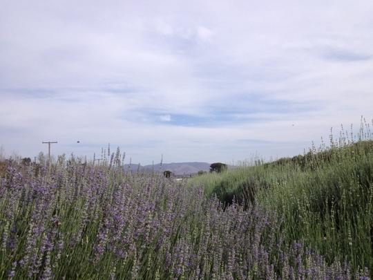 Lake Tahoe Hotels >> Lavender Festival - Cherry Valley, CA - Kid friendly ...