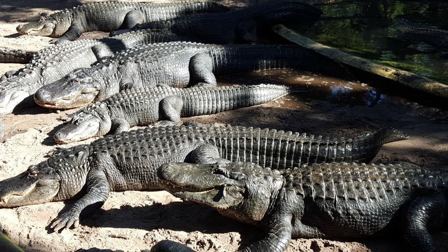 Alligator farm st augustine discount coupons