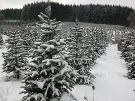 Bigfoot Christmas Trees - Dallas, Oregon